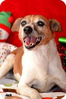 Corgi/Hound (Unknown Type) Mix Dog for adoption in Okeechobee, Florida - Jack