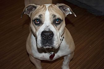 English Bulldog/Boxer Mix Dog for adoption in Beverly Hills, California - Kahlua