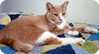 Domestic Mediumhair Cat for adoption in Alexandria, Virginia - Sandie