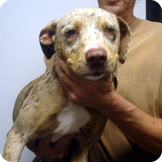 Catahoula Leopard Dog Mix Dog for adoption in Greencastle, North Carolina - Sunday