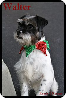 Schnauzer (Miniature)/Terrier (Unknown Type, Small) Mix Dog for adoption in Rockwall, Texas - Walter