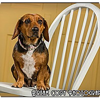 Adopt A Pet :: Gibby - Owensboro, KY