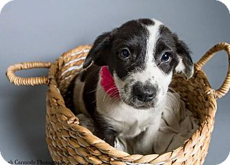 Collie Mix Puppy for adoption in Jacksonville, North Carolina - Belle