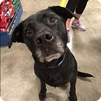 Adopt A Pet :: Beau - Bellingham, WA