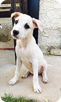Shepherd (Unknown Type)/Collie Mix Puppy for adoption in Las Vegas, Nevada - Kylie