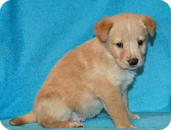 Labrador Retriever/Shepherd (Unknown Type) Mix Puppy for adoption in Mukwonago, Wisconsin - **PRINCE** MEET APRIL 1ST!