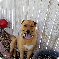 Adopt A Pet :: Kolby - Billings, MT