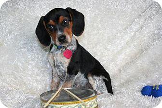 Beagle Puppy for adoption in Sioux Falls, South Dakota - Ringo