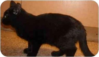 Domestic Shorthair Cat for adoption in Mesa, Arizona - Milli