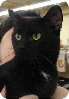 Domestic Shorthair Cat for adoption in Chesapeake, Virginia - Monkey