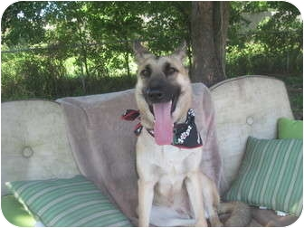German Shepherd Dog Dog for adoption in Green Cove Springs, Florida - Ryka