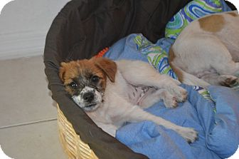 Jack Russell Terrier/Toy Fox Terrier Mix Puppy for adoption in Weeki Wachee, Florida - Jackie