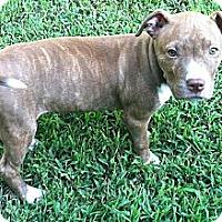 Adopt A Pet :: Bell - Chattanooga, TN