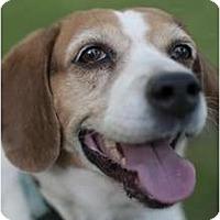 Adopt A Pet :: Hester - Phoenix, AZ