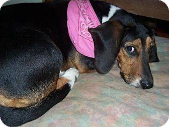 Basset Hound/Beagle Mix Dog for adoption in Mtn Grove, Missouri - Laney