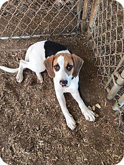 Beagle/Hound (Unknown Type) Mix Puppy for adoption in Huntsville, Alabama - Clover