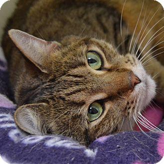 Domestic Shorthair Cat for adoption in Wheaton, Illinois - Mim