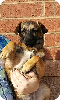 Shepherd (Unknown Type)/Jack Russell Terrier Mix Puppy for adoption in Mount Pleasant, South Carolina - Scully