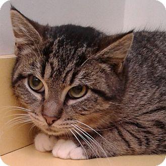 Domestic Shorthair Cat for adoption in Brimfield, Massachusetts - Cleo