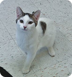 Domestic Shorthair Kitten for adoption in Chambersburg, Pennsylvania - Marshmellow