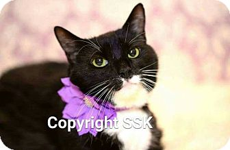 Domestic Shorthair Cat for adoption in Tega Cay, South Carolina - Penny Lane