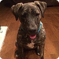 Adopt A Pet :: Rocket - Colorado Springs, CO