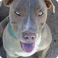 Adopt A Pet :: Magnito - Las Vegas, NV