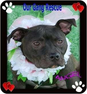 American Pit Bull Terrier Puppy for adoption in Cincinnati, Ohio - Angel