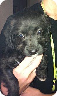 Labradoodle Mix Puppy for adoption in Nuevo, California - Nubi