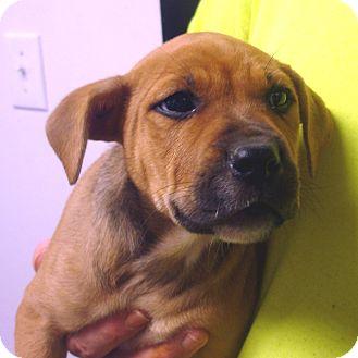 Boxer Mix Puppy for adoption in Greencastle, North Carolina - Orange