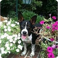 Adopt A Pet :: Radar - Alexandria, VA