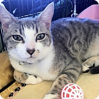 Domestic Shorthair Kitten for adoption in Palm Springs, California - Dakota