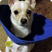 Adopt A Pet :: Honey - Grass Valley, CA