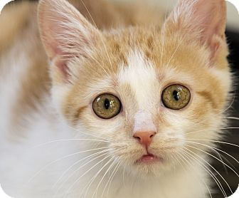 Domestic Shorthair Kitten for adoption in Chicago, Illinois - Arya