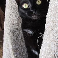 Domestic Shorthair Cat for adoption in Wheaton, Illinois - Naomi