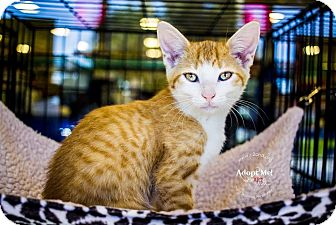 Domestic Shorthair Kitten for adoption in Charlotte, North Carolina - A..  Bryce