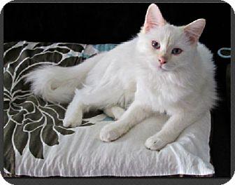 Siamese Cat for adoption in Gilbert, Arizona - Snowflake