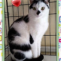 Adopt A Pet :: Cerelina - Atco, NJ