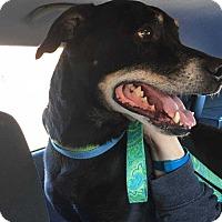 Adopt A Pet :: Harley - Franklinville, NJ