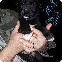 Husky Mix Puppy for adoption in Albany, North Carolina - Miki