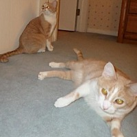 Adopt A Pet :: Brickle & Praline-Courtesy Post - Harrisburg, PA