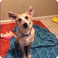 Adopt A Pet :: Tod the Fox - Fort Atkinson, WI