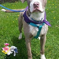 Terrier (Unknown Type, Medium) Mix Puppy for adoption in Detroit, Michigan - Cruise