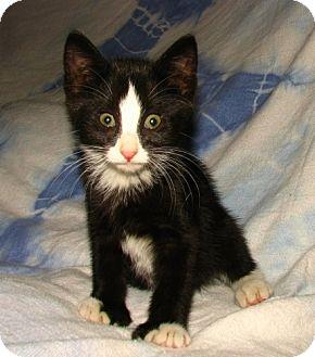 Domestic Shorthair Kitten for adoption in Norwich, New York - Antonio