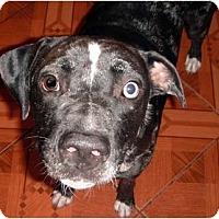 Adopt A Pet :: Phantom - Orlando, FL