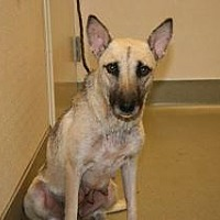 Shepherd (Unknown Type) Mix Dog for adoption in Wildomar, California - Maxine
