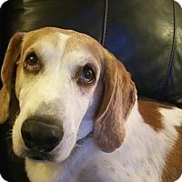 Hound (Unknown Type)/Halden Hound (Haldenstrover) Mix Dog for adoption in Lorida, Florida - Oscar