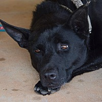 Cattle Dog Mix Dog for adoption in Midlothian, Virginia - Zack