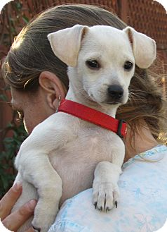 Terrier (Unknown Type, Small) Mix Puppy for adoption in Sonoma, California - Patty
