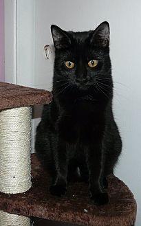 Domestic Shorthair Kitten for adoption in Middletown, Ohio - Jade